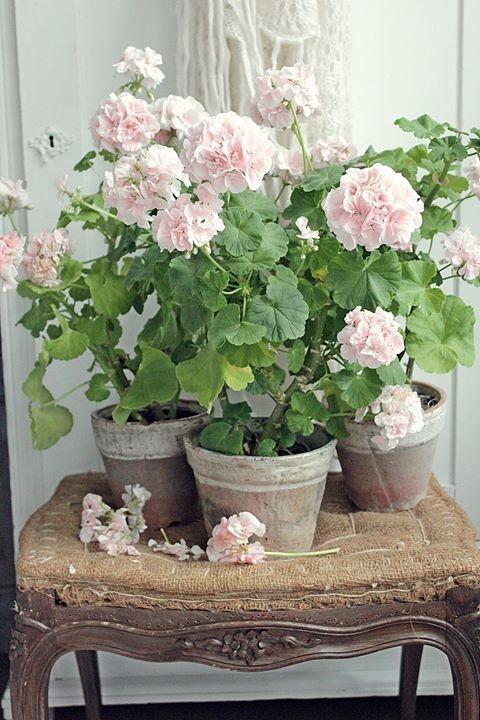 Pélargonium rose poudré sur chaise Shabby Chic