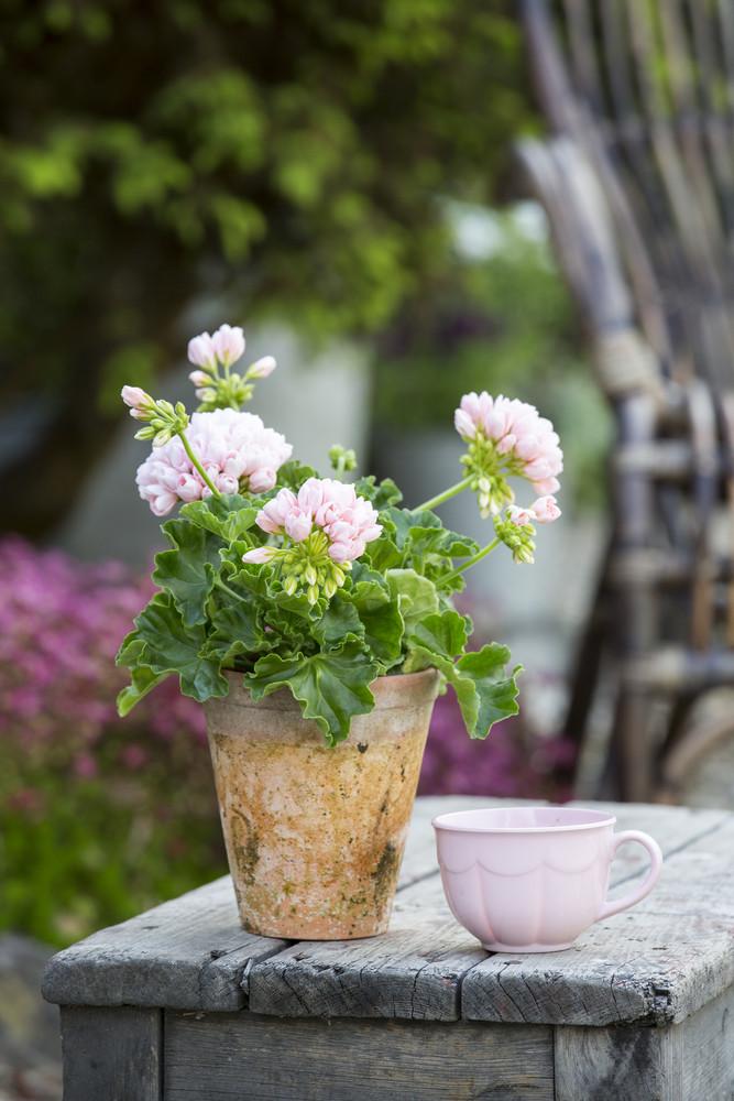 Pélargonium rose poudré et tasse rose