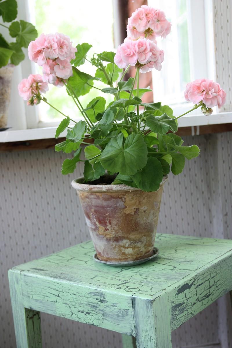 Pélargonium rose poudré dans le style Shabby Chic - Crédits @balconygardenweb