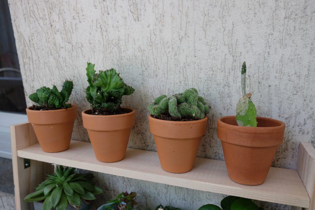 cactus cristés cristation fasciation