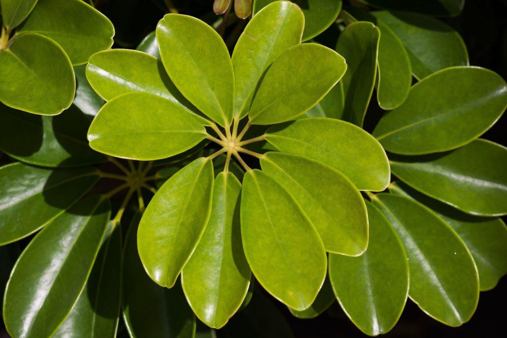 Canva Schefflera Heptaphylla plante facile d'entretien qui pousse quasiment sans eau La Revue Vertu