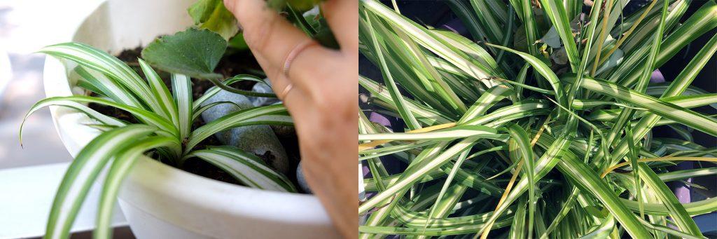 Chlorophytum qui pousse quasiment sans eau La Revue Vertu