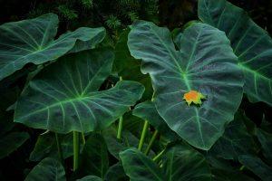 Les différences entre Alocasia et Colocasia