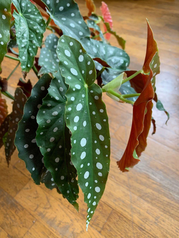 begonia maculata feuille - La revue Vertu
