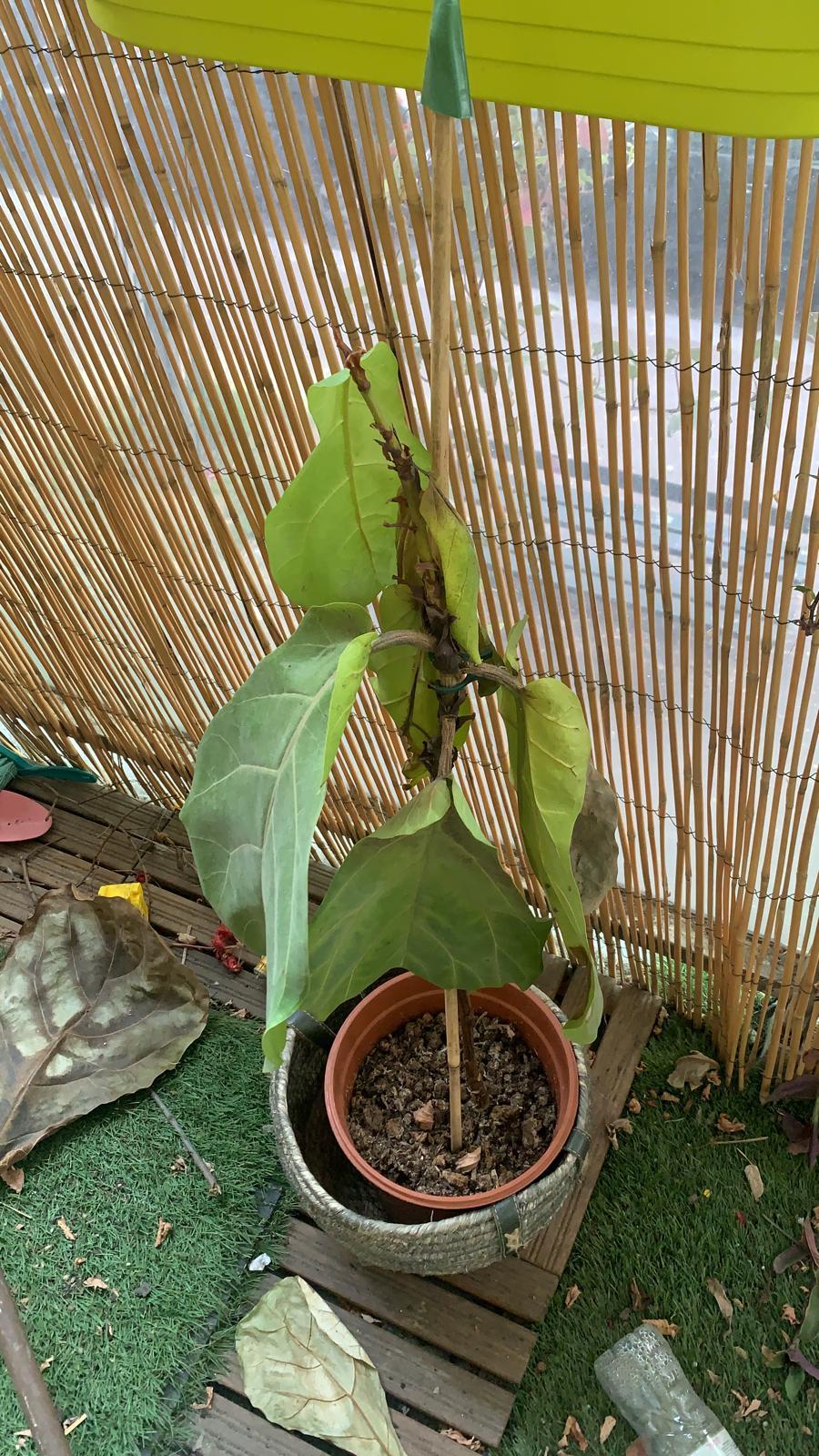 Ficus Lyrata mort La Revue Vertu