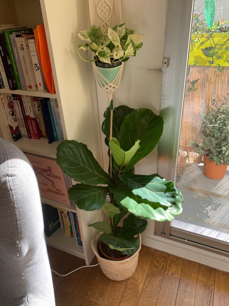 Ficus Lyrata La Revue Vertu