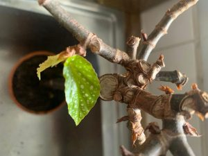 Begonia bambou quand la vie reprend La Revue Vertu