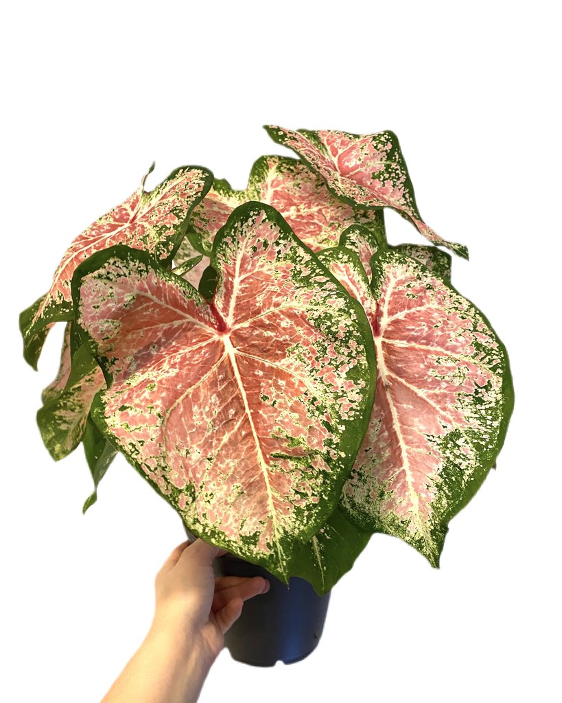 caladium cherry blossom what-the-flower