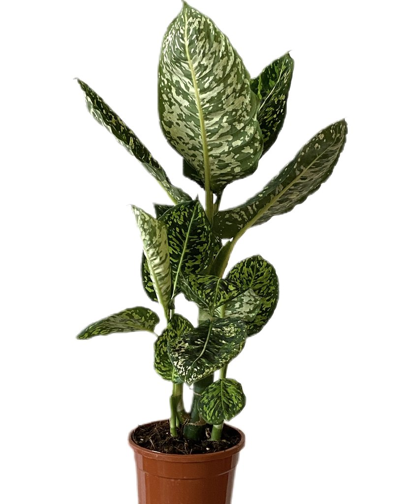 dieffenbachia reflector what-the-flower