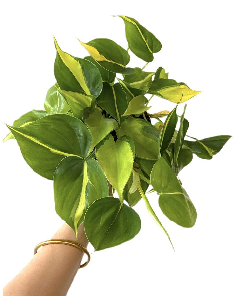 philodendron scandens brasil what the flower