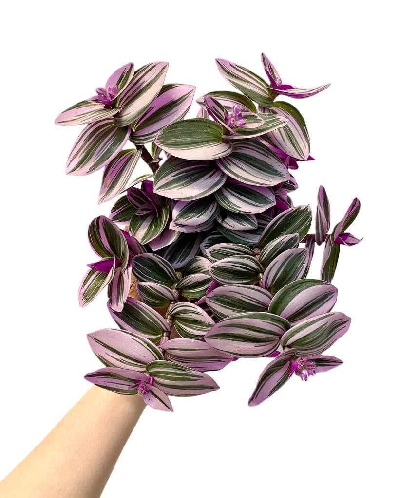 tradescantia nanouk what-the-flower