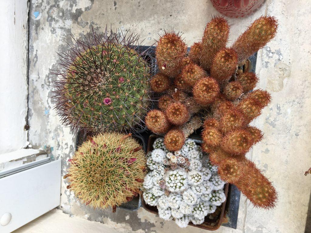 cactus qui poussent sans eau la revue vertu