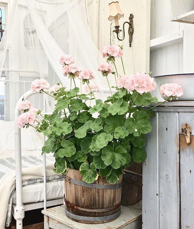 Pélargonium rose poudré dans un cache pot en bois Shabby Chic