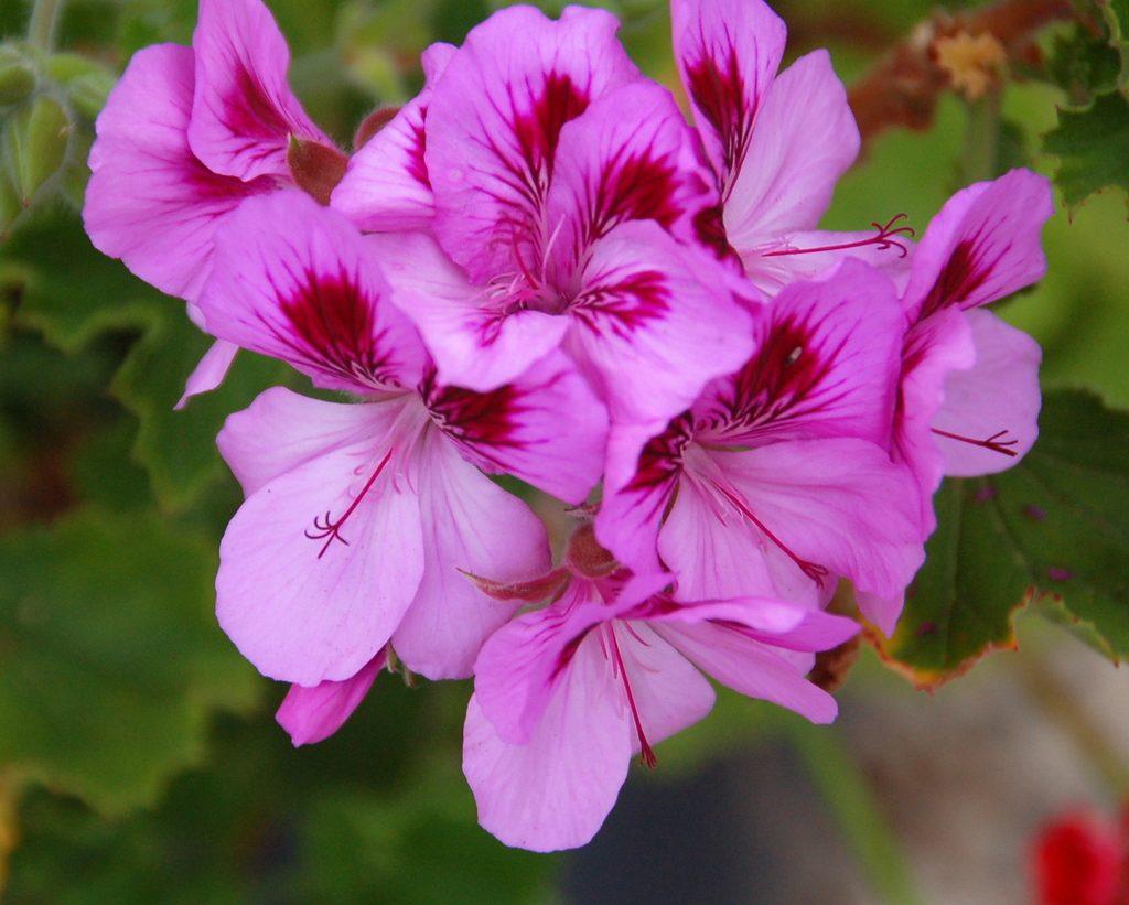 Robert Wallace Pelargonium flickr - Différences entre pélargonium et géranium - La Revue Vertu