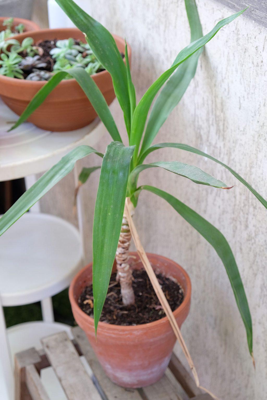 Yucca qui pousse sans eau La Revue Vertu