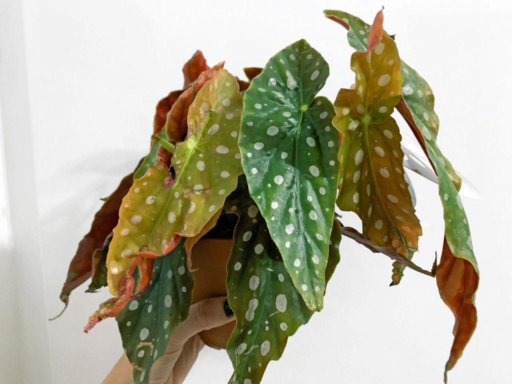 Begonia Maculata Plantes Pour Tous