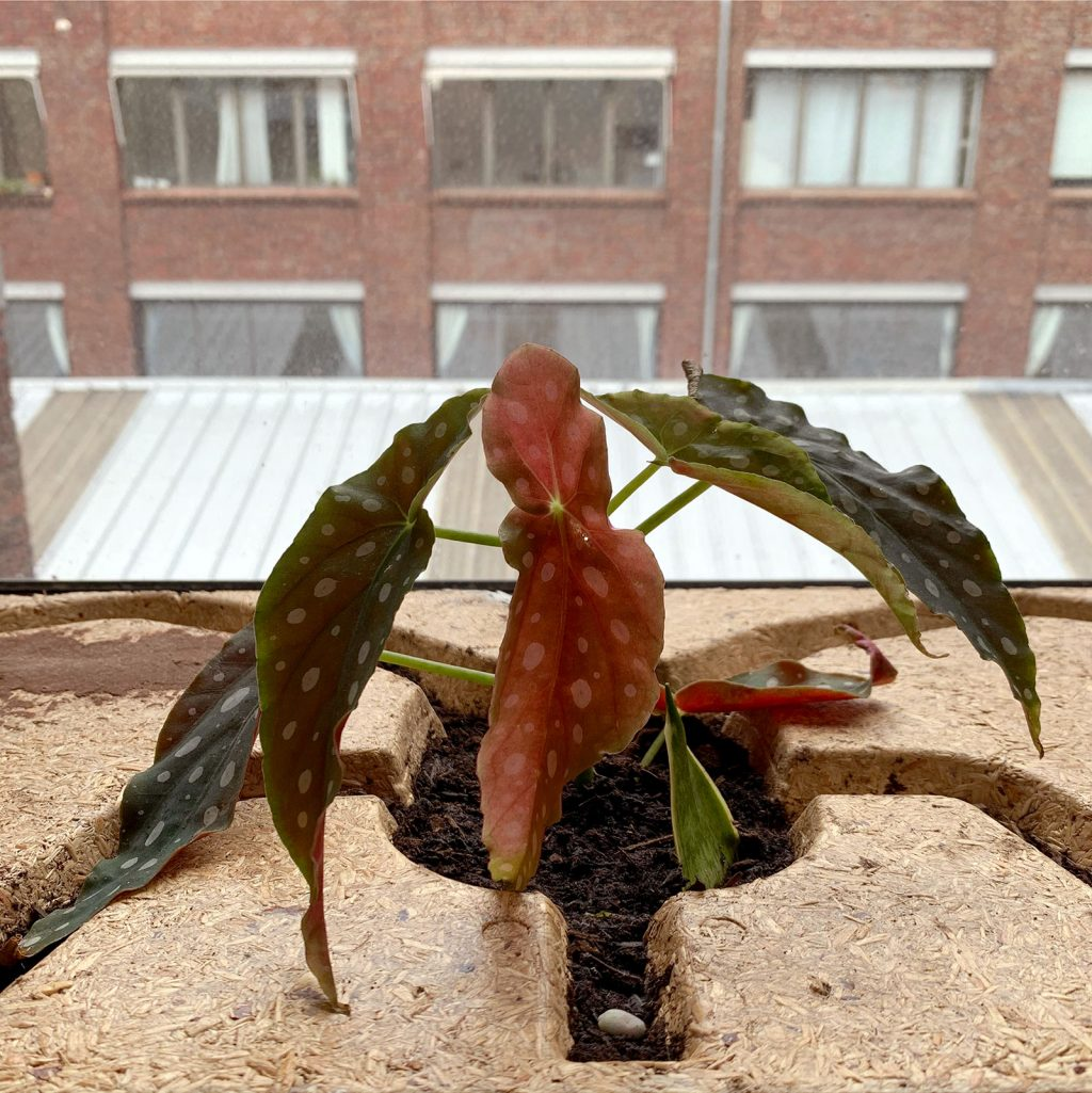 begonia maculata bouture par tige - La Revue Vertu