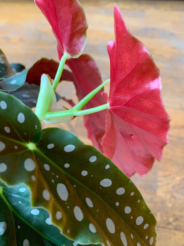 begonia maculata feuille rouge sombre en dessous - La Revue Vertu
