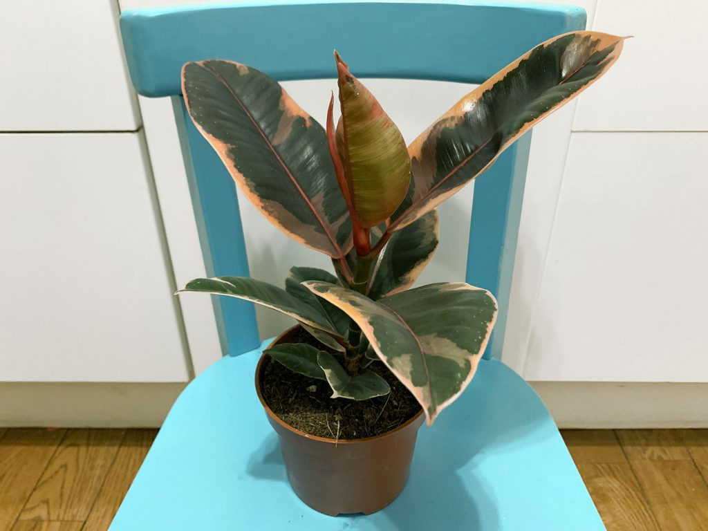 Ficus Elastica Ruby Plantes Pour Tous La Revue Vertu