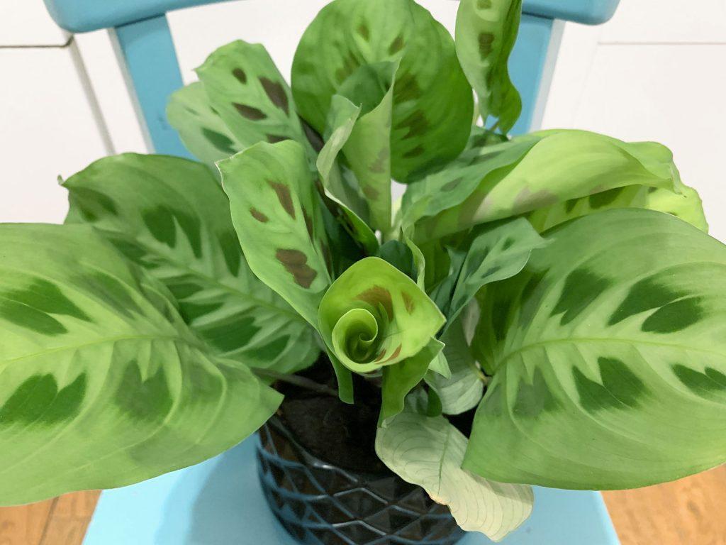 Maranta Leuconeura Plantes Pour Tous