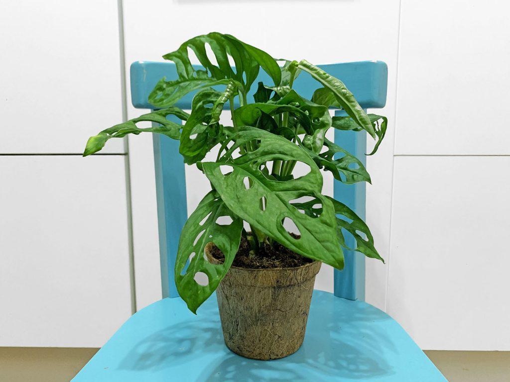 Monstera Adansonii Plantes Pour Tous