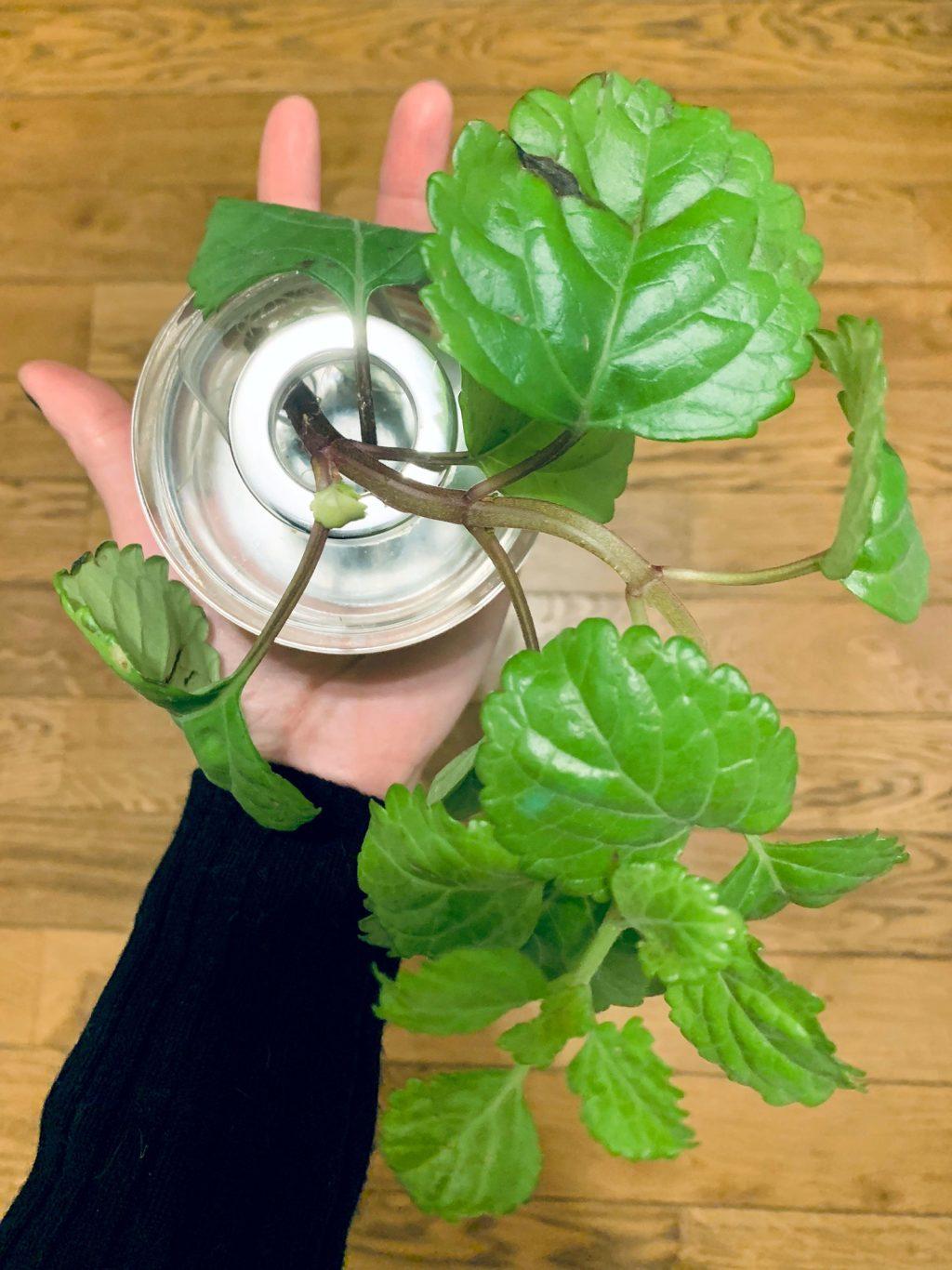 Plectranthus verticillatus en vase - La Revue Vertu