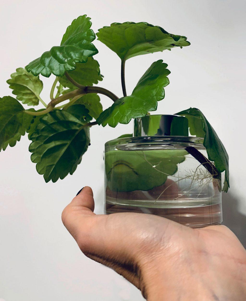 Plectranthus verticillatus et ses belles racines - La Revue Vertu