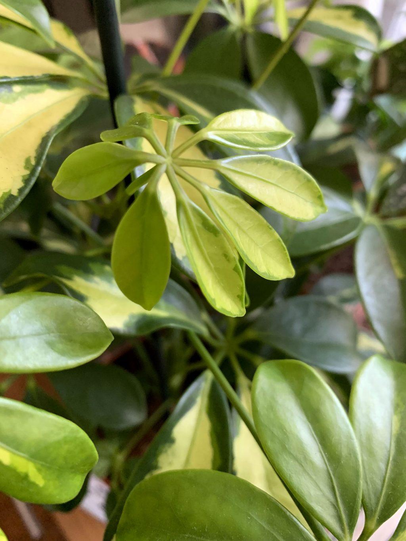 Schefflera Arboricola Variegata pousses Plantes Pour Tous