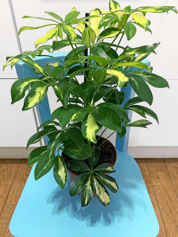 Schefflera Arboricola Variegata Plantes Pour Tous