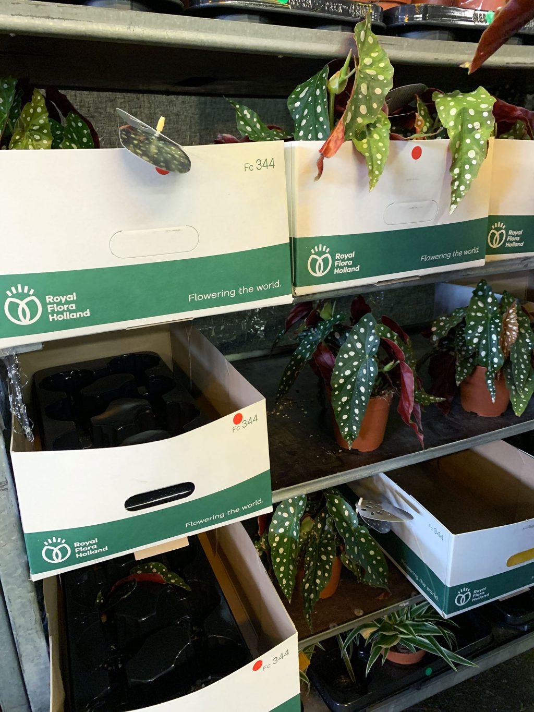 Vente privée Plantes Pour Tous Ground Control étagères begonia maculata