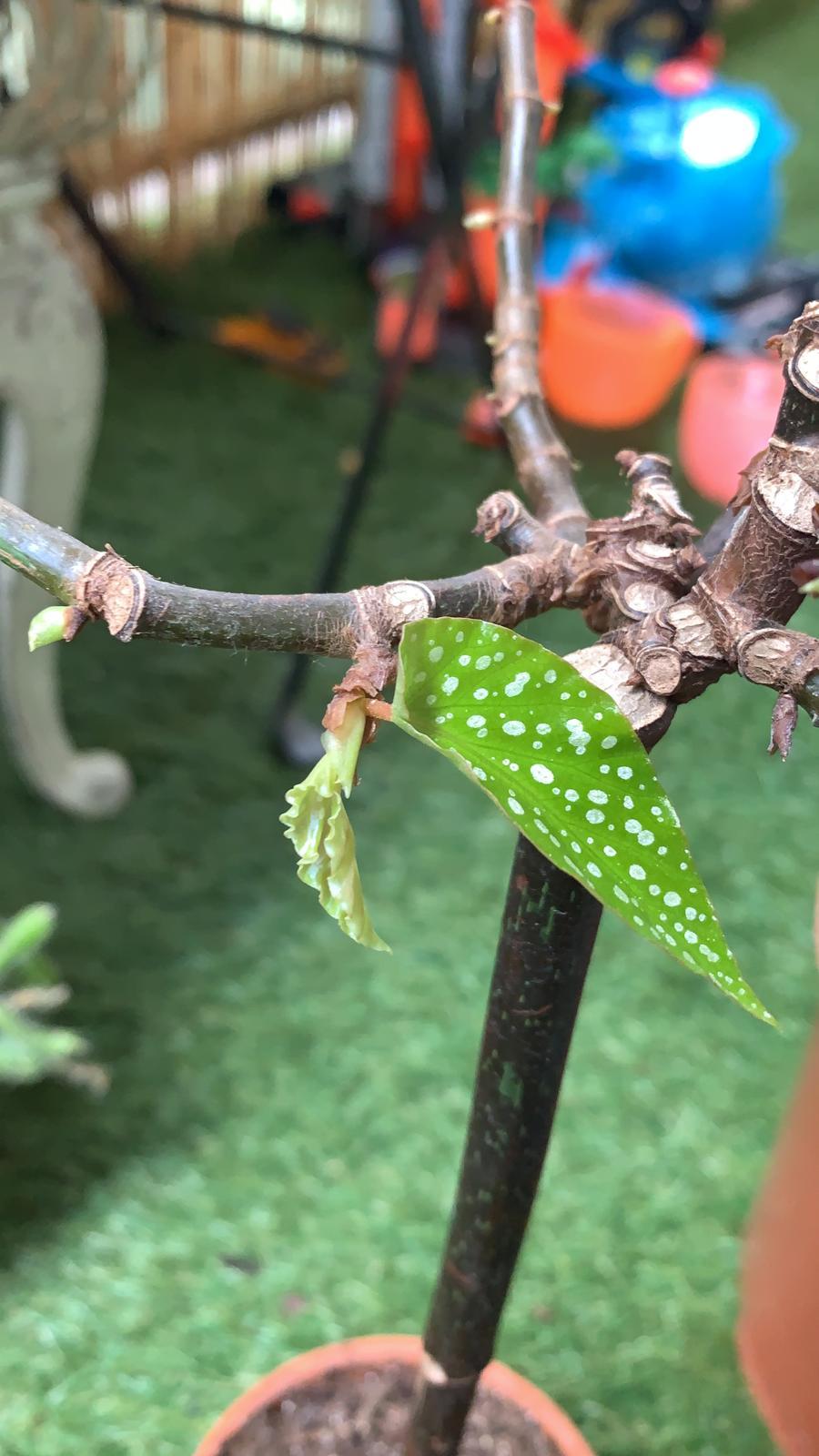 Bégonia tamaya bambou maculata repousses La Revue Vertu