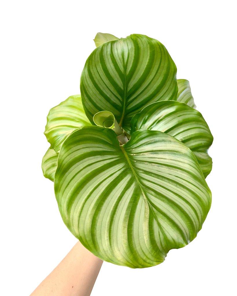 calathea orbifolia what-the-flower