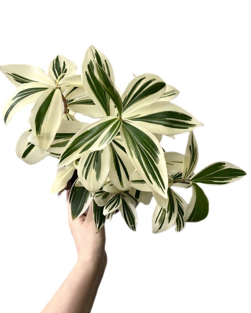 costus arabicus variegata what the flower