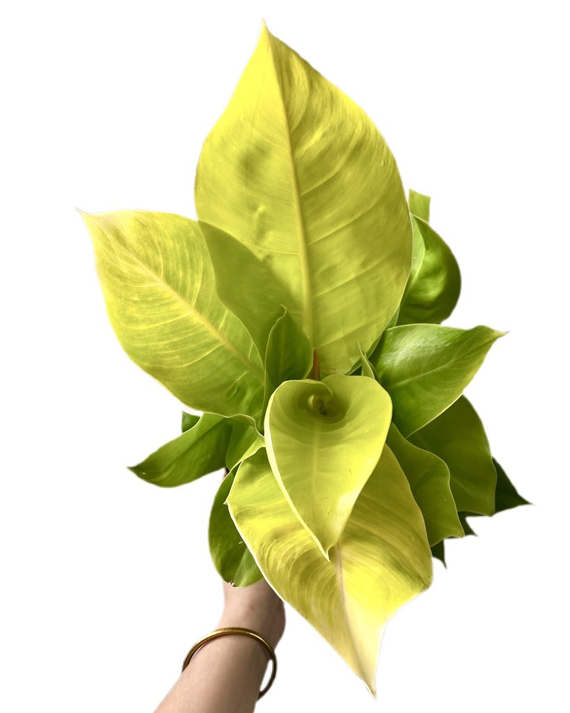 philodendron moonlight what-the-flower