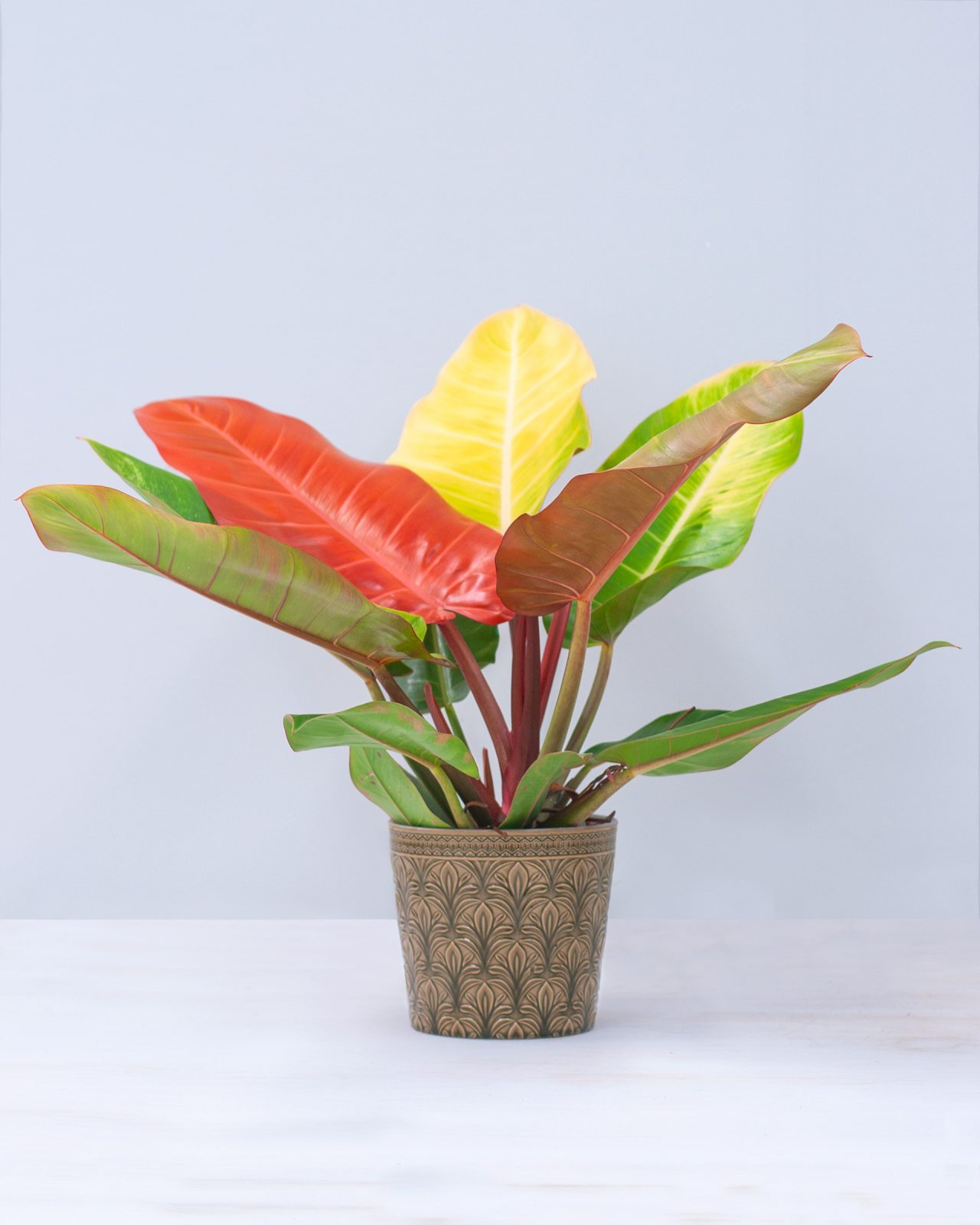 prince of orange philodendron plnts