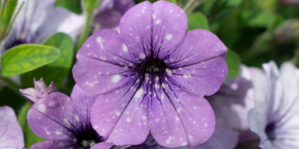 Lavender Sky Pétunia