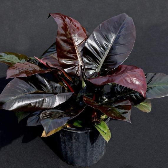 Philodendron 'Black Cardinal' plante à feuilles noires