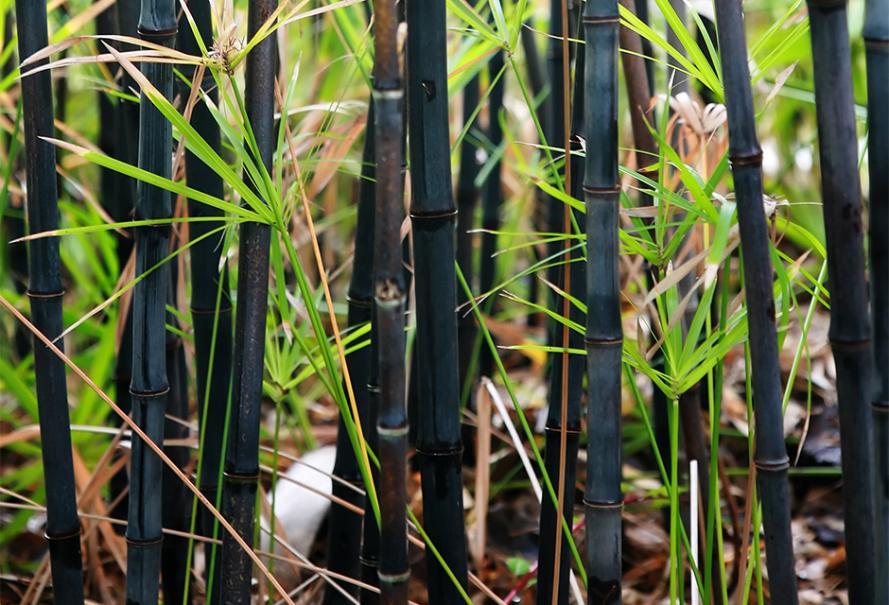 Phyllostachys Nigra Bambou à tiges noires