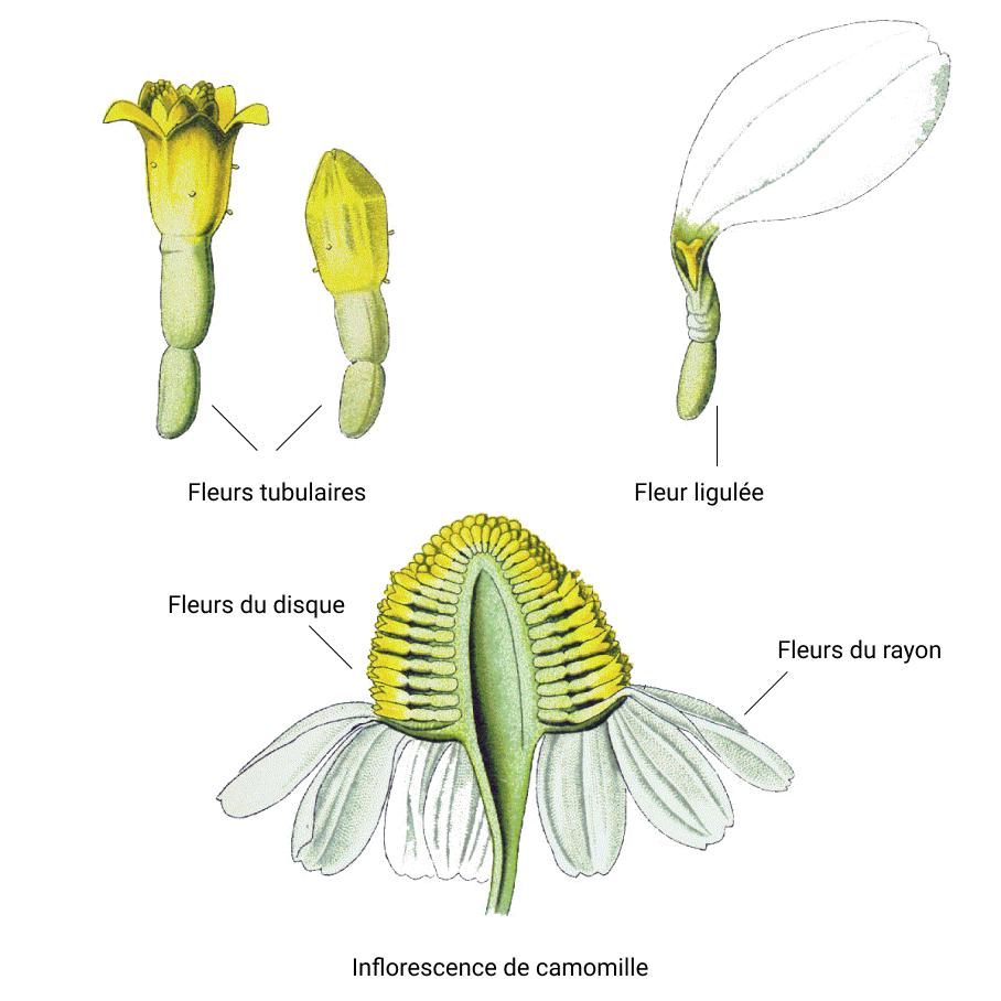Inflorescence de Camomille