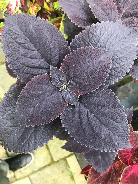 plantes à feuilles noires Coleus 'Palisandra'