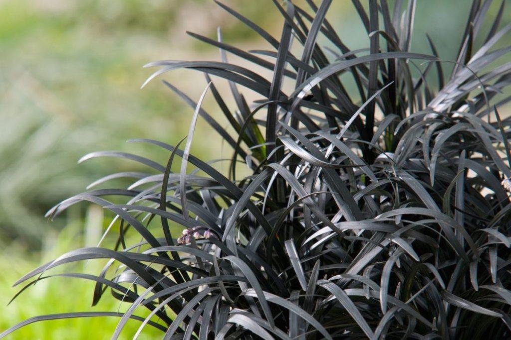 Ophiopogon Planiscapus 'Black Beard' plantes à feuilles noires