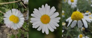 triptyque asteracees
